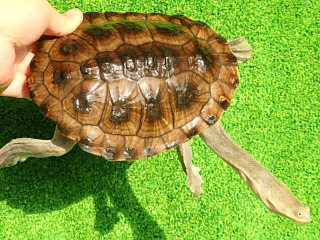 コウヒロナガクビガメ3 - Turtle...